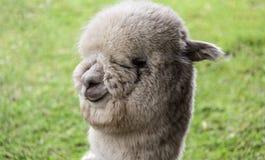 Alpaca llama. With funy hairstyle stock photos