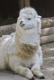 Alpaca llama pacos Stock Images