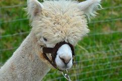 The Alpaca Llama Stock Images