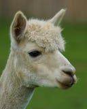Alpaca-/Llamaprofil Royaltyfri Fotografi