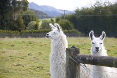 Alpaca looking at camera. And another one looking to the side Royalty Free Stock Image