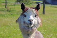 Alpaca looking into camera. Gray alpaca on a green pasture, looking into camera Royalty Free Stock Photo