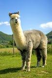 Alpaca looking curious Stock Photos