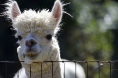 Alpaca. An alpaca looks over the fence with a pleasant expression while chewing a piece of grass Royalty Free Stock Image