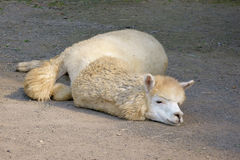 Alpaca. Lying on the ground Stock Images
