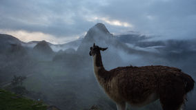 Alpaca at Machu Picchu Inca ruins in Peru Stock Image
