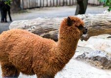 Alpaca marrone del ritratto che non guarda nella macchina fotografica in un campo verde Immagine Stock
