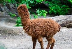 Alpaca marrone del ritratto che non guarda nella macchina fotografica in un campo verde Fotografie Stock