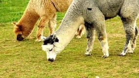 Alpaca on a meadow stock video