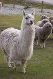 Alpaca met andere schapen op achtergrond Stock Foto