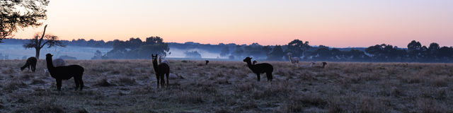 Alpaca in morning panorama Stock Photography