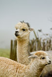 Alpaca mother and baby. An Alpaca mother and child Royalty Free Stock Images