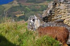 Alpaca in mountains stock photos