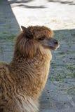 Alpaca, 2015. Alpaca in the Munich zoo (Tierpark Hellabrunn Royalty Free Stock Photography