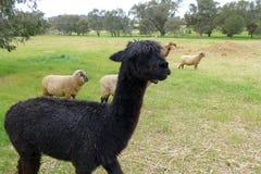 Alpaca na estada da exploração agrícola de Austrália Imagem de Stock