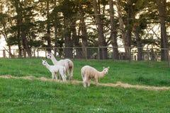 Alpaca nel campo Fotografie Stock