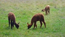 Alpaca nel campo che mangia erba Fotografia Stock Libera da Diritti