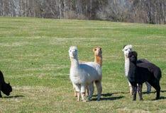 Alpaca nel prato Immagini Stock Libere da Diritti