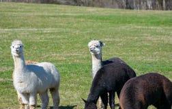 Alpaca nel prato Immagini Stock