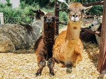 Alpaca nell'azienda agricola dell'alpaga Immagini Stock