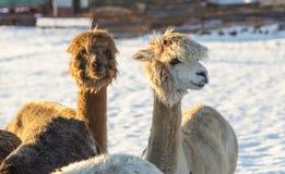 Alpaca nell'inverno Fotografie Stock Libere da Diritti