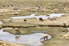 Alpaca nelle Ande Immagine Stock