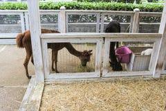 alpaca nello zoo Fotografia Stock Libera da Diritti