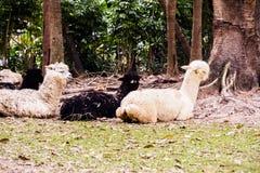 alpaca nello zoo Fotografie Stock