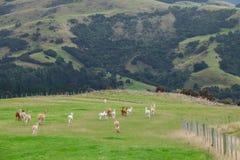 Alpaca, New Zealand Stock Images