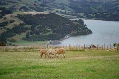 Alpaca, New Zealand Royalty Free Stock Photo