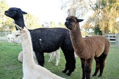 Alpaca, New Zealand Royalty Free Stock Images
