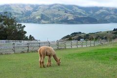 Alpaca Nya Zeeland Arkivfoton