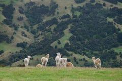 Alpaca Nya Zeeland Arkivbilder