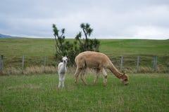 Alpaca Nya Zeeland Royaltyfri Foto