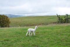Alpaca Nya Zeeland Royaltyfri Fotografi