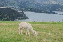 Alpaca Nya Zeeland Arkivfoto