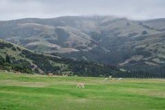 Alpaca Nya Zeeland Royaltyfria Bilder