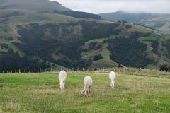 Alpaca Nya Zeeland Royaltyfri Bild