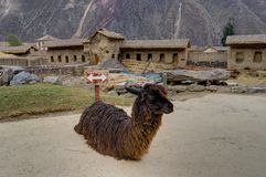 Alpaca in Ollantaytambo Peru Royalty-vrije Stock Fotografie
