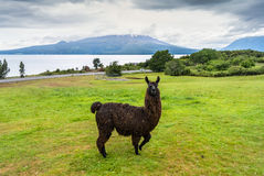 Alpaca and Osorno Volcano on a cloudy day, Chile. Alpaca and Osorno Volcano on a cloudy day, Lake Region, Chile Stock Photo