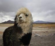 Alpaca på den Chile altiplanoen Arkivbild
