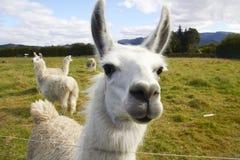 Alpaca på lantgården Royaltyfri Fotografi