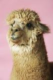 Alpaca på rosa bakgrund arkivfoton