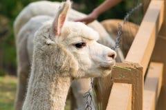 Alpaca, pacos do Vicugna Fotos de Stock Royalty Free