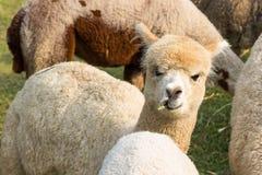 Alpaca, pacos do Vicugna Imagem de Stock Royalty Free