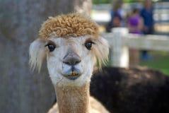 Alpaca in a Paddock Stock Photo