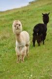 Alpaca in pascolo Fotografie Stock