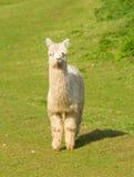 Alpaca peludo branca que está de vista a câmera Fotos de Stock