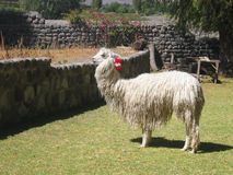 Alpaca in Peru. Alpaca on a farm in Arequipa, Peru Royalty Free Stock Image
