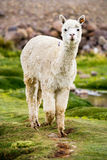 Alpaca, Peru Stock Photography